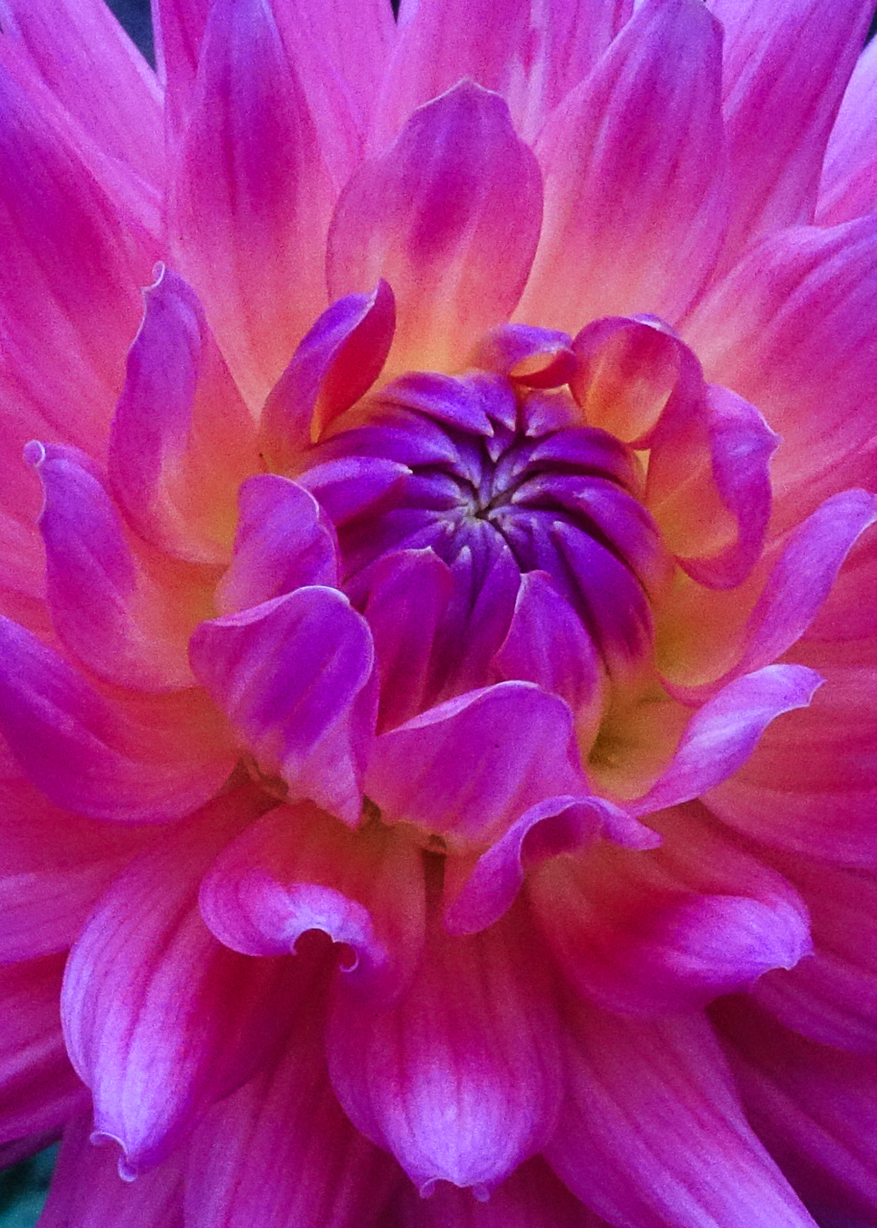 151214 Dahlia light puple  5x7-2.jpg