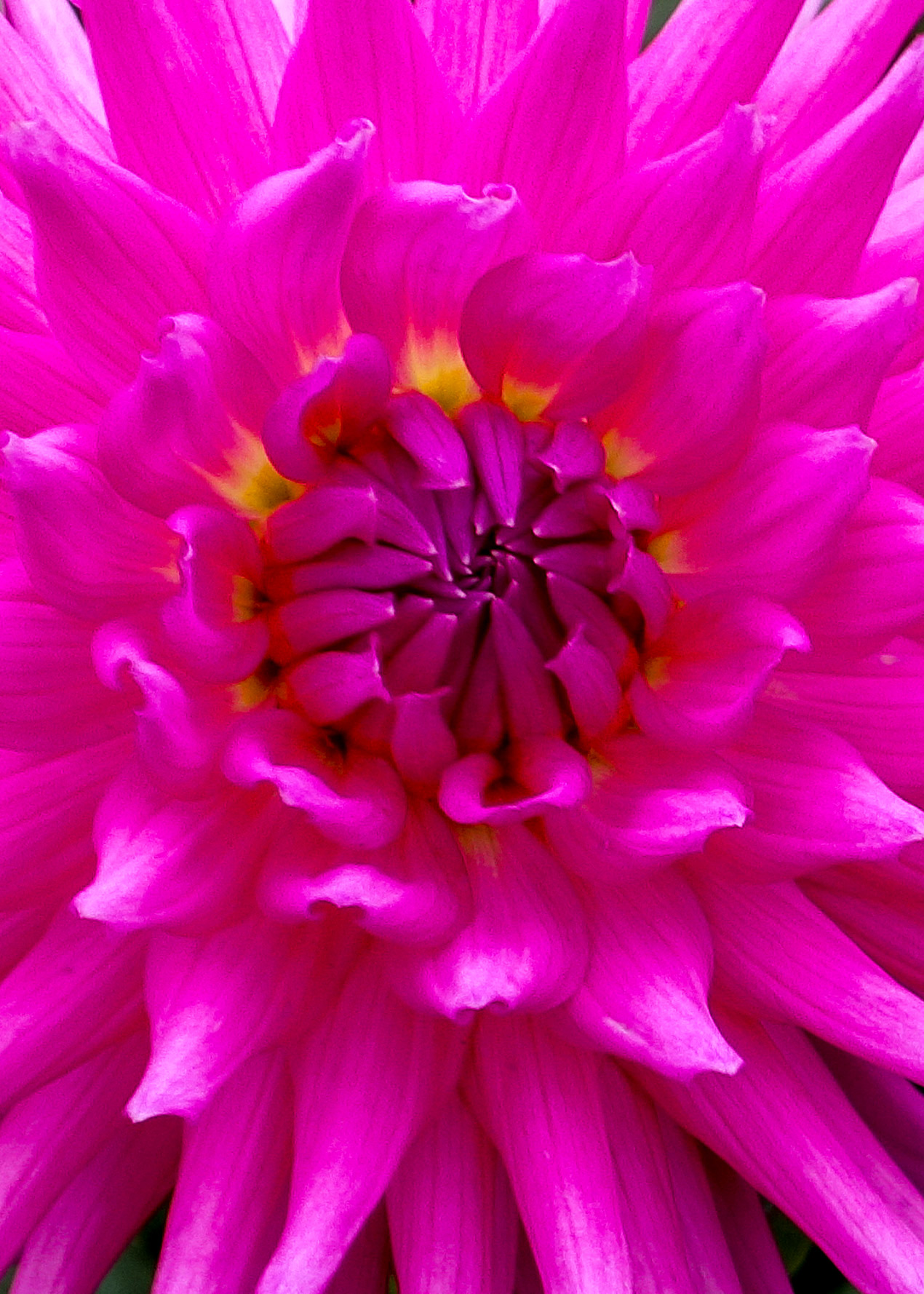 151214 Dahlia pink  15x7-2.jpg