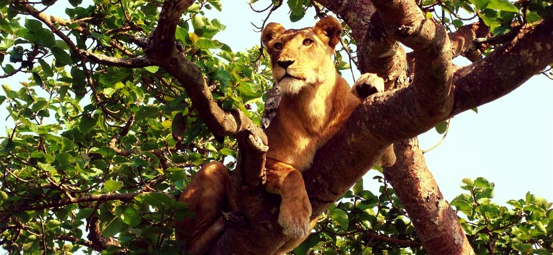 Tree-climbing lions are one of the main attractions of Queen Elizabeth National Park.