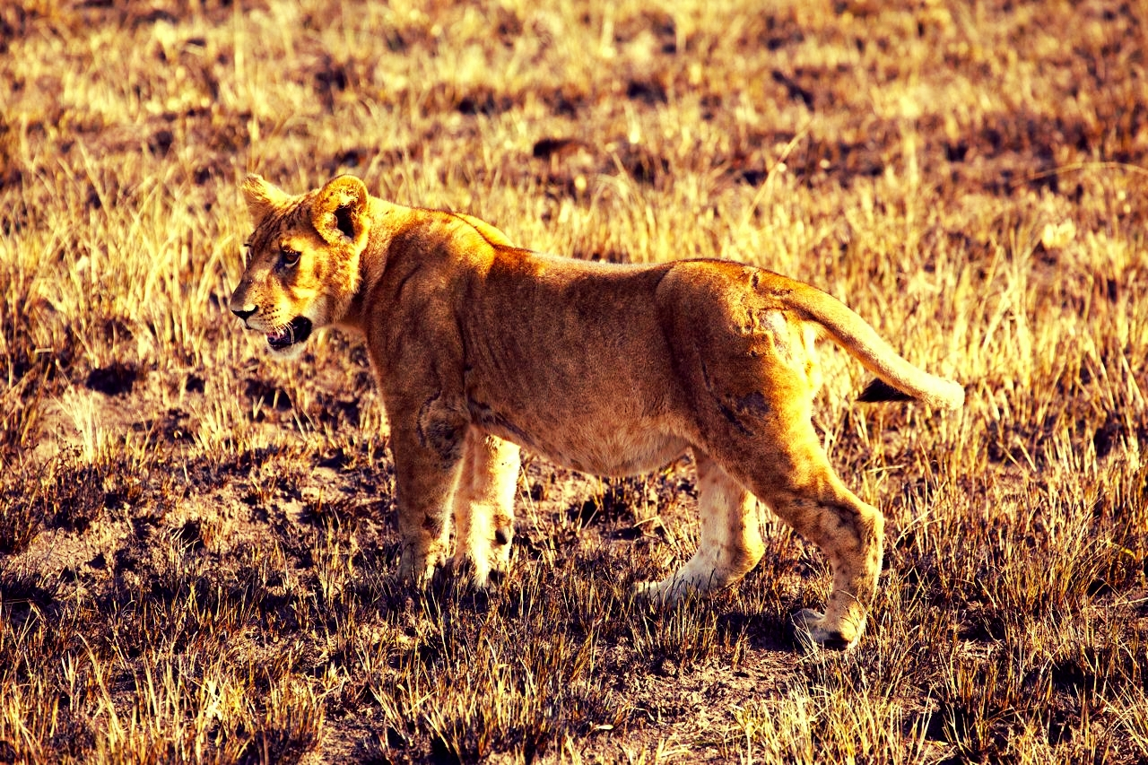 A lioness seen from our safari vehicle on a morning game drive in Queen Elizabeth National Park