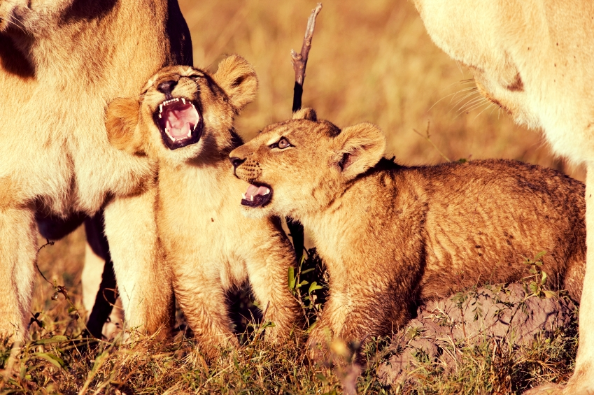 Young lions practice their roar in our presence.