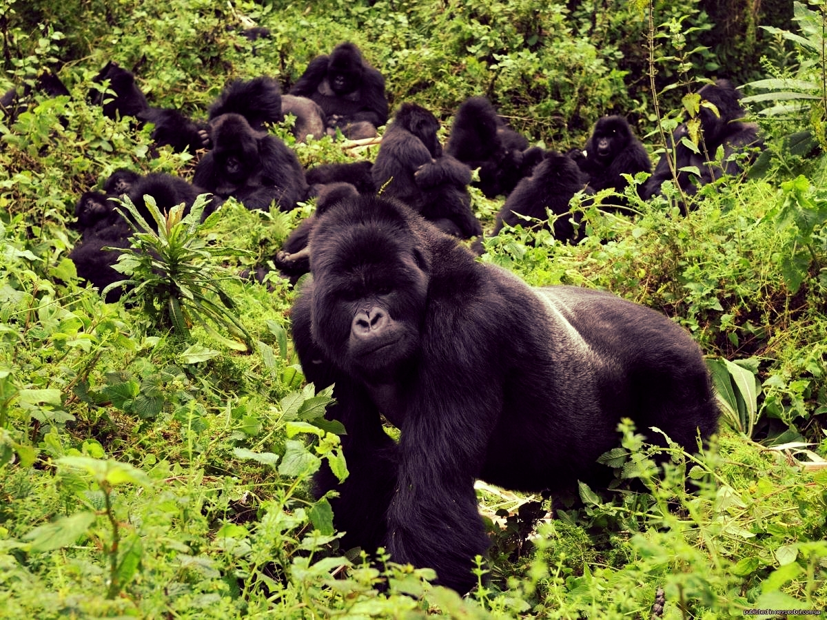 Mountain gorilla tracking in Bwindi rain forest can be a muddy experience, but spending time with the gorillas is priceless.
