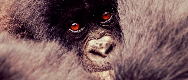 gorilla_baby.jpg