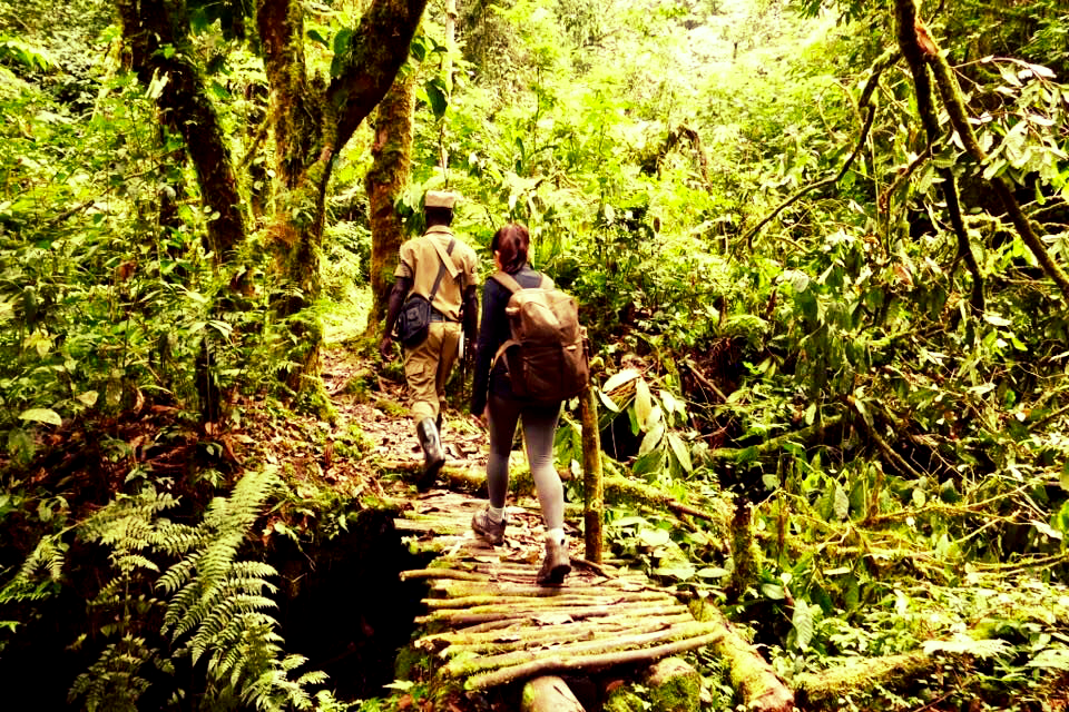 Mountain gorilla hikes lead deep into Bwindi rain forest - hikes can take up to six hours based on the weather.