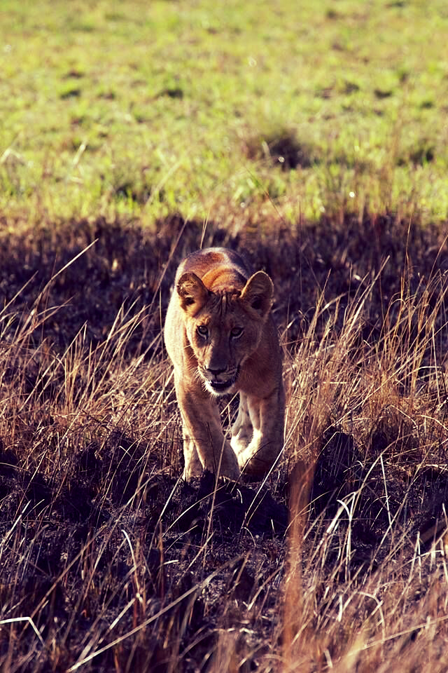 Young lions often approach our vehicle in Murchison Falls National Park.