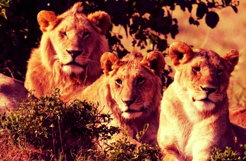 1413270020masai-mara-lions.jpg