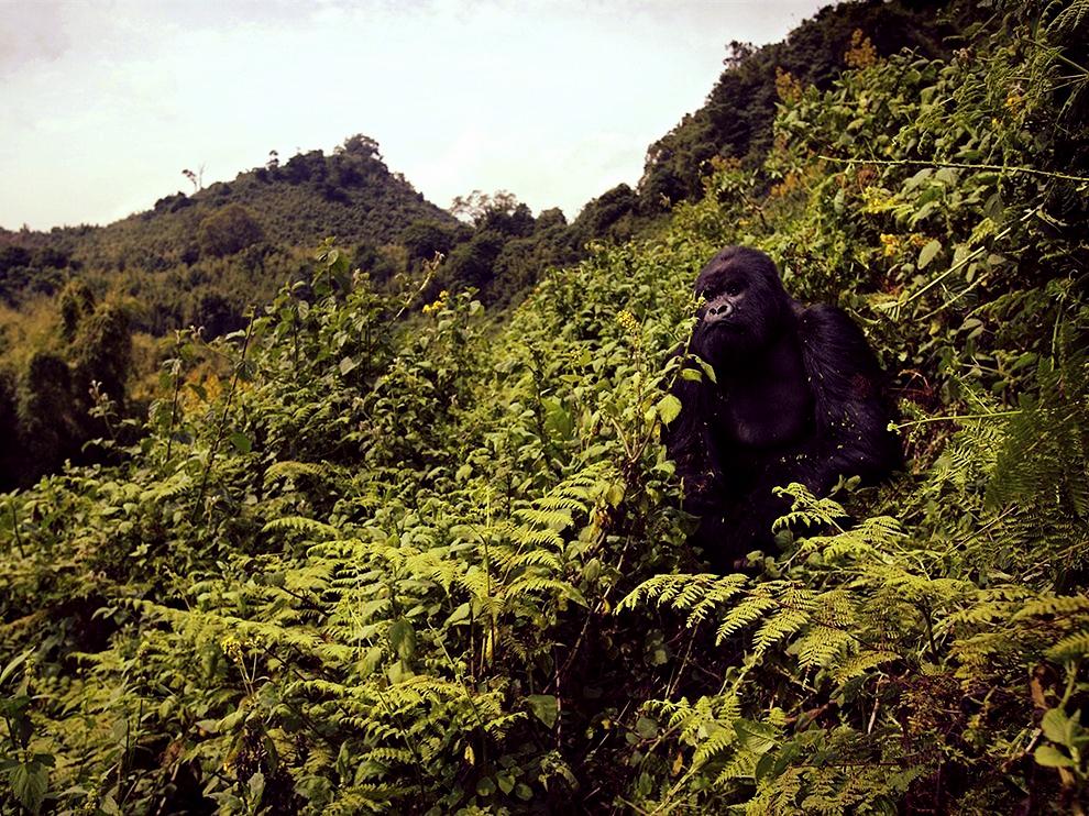 gorilla-volcanoes-national-park-rwanda_72891_990x742.jpg