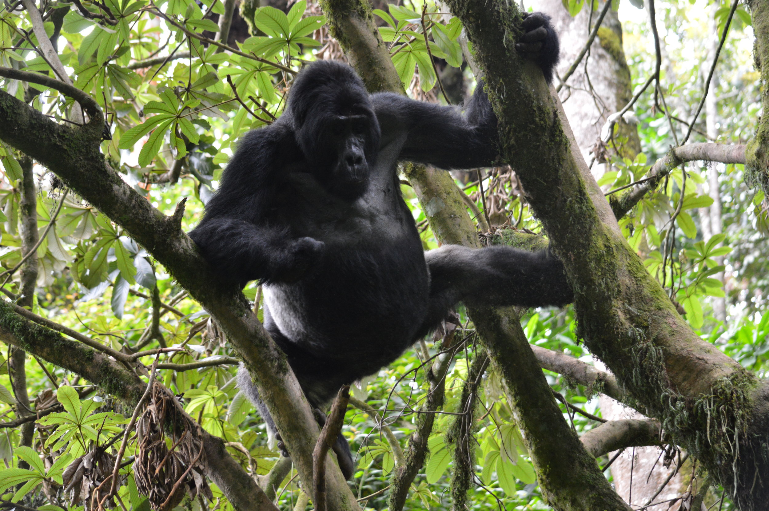 Bweza leading silverback maintaining balance while getting breakfast of  Marianthus fruits at Rushaga southern sector-Bwindi impenetrable forest.