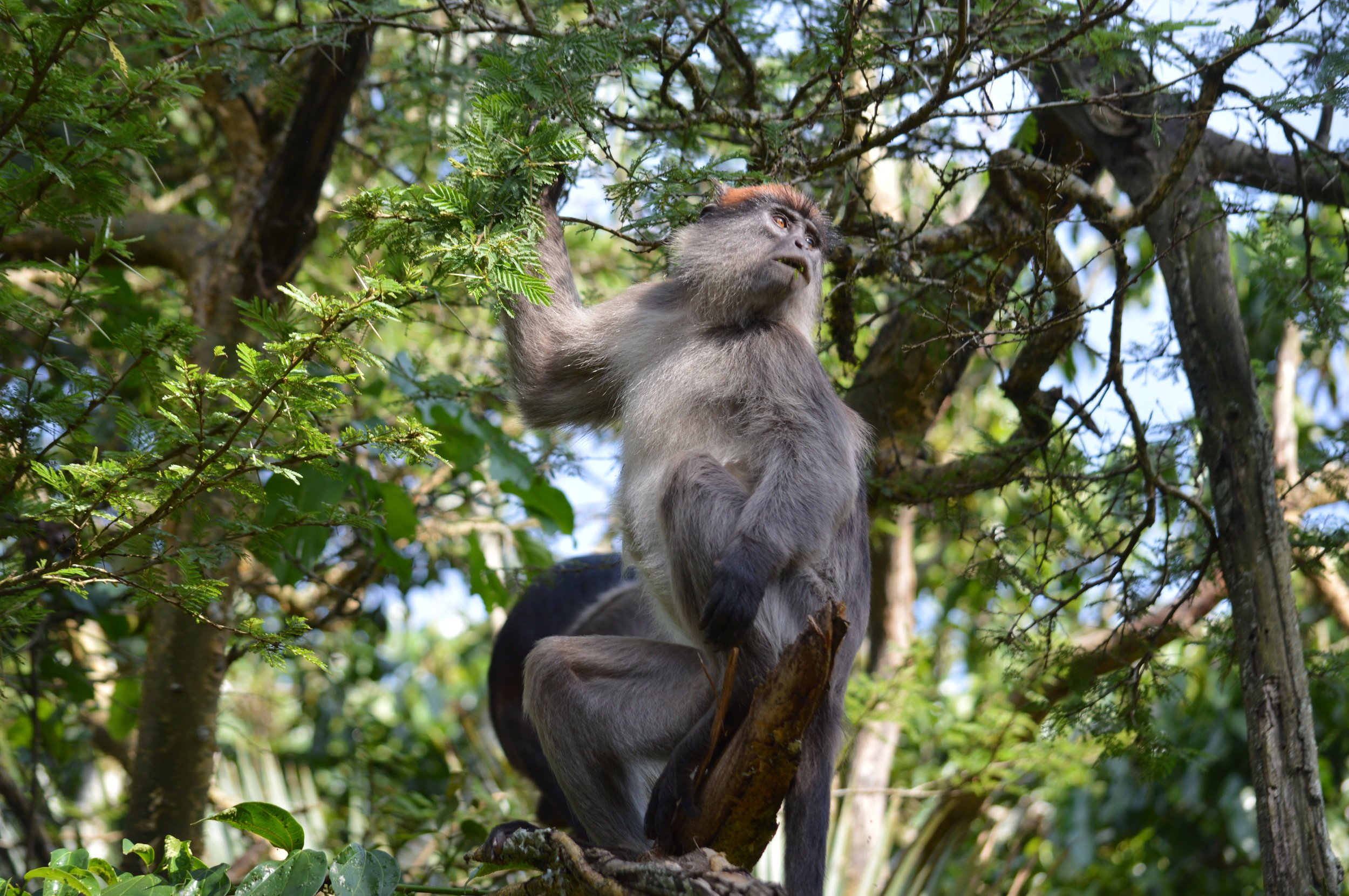 The lucky monkey will gaze at you on your way to spice-up your mountain gorillas trekking experince