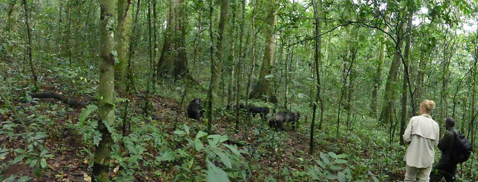 Tourist on the chimpanzee habituation experience inside Kibale forest in Uganda