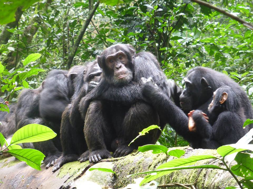 Grooming time in the chimpanzee family is quite important just as asocial hour for humans