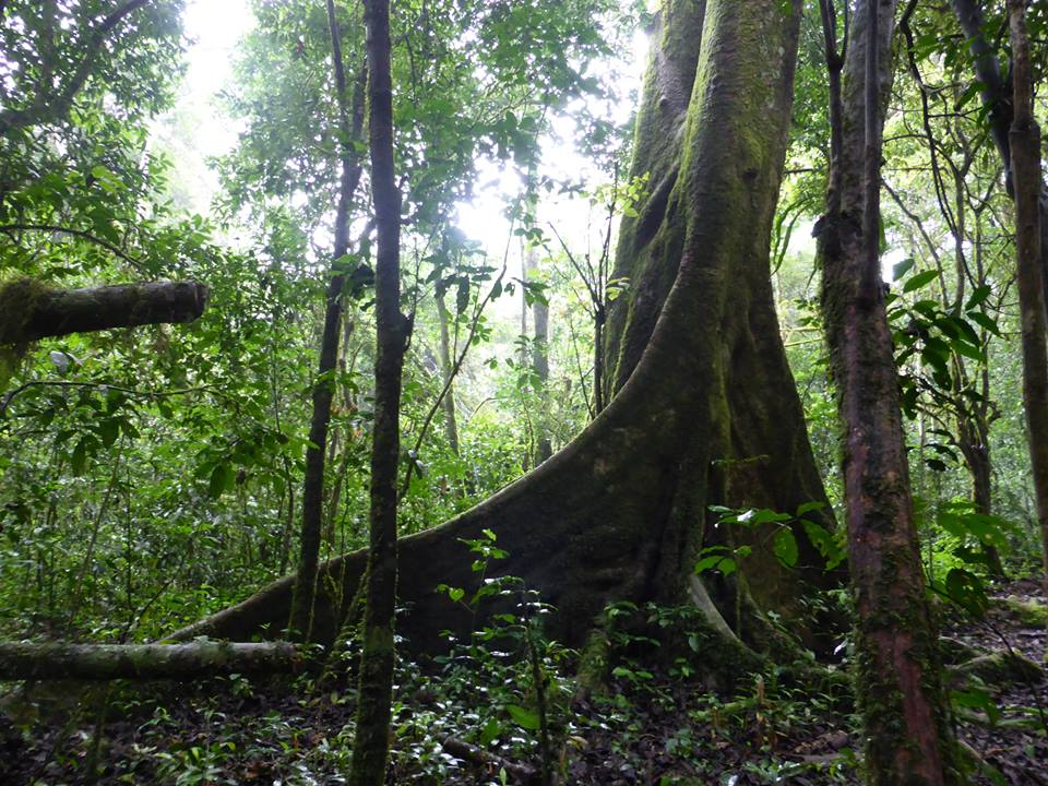 Chimpanzee will practice drumming on such huge tree inside the rain forest.