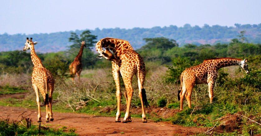 Majestic magical encounter with Giraffes.jpg