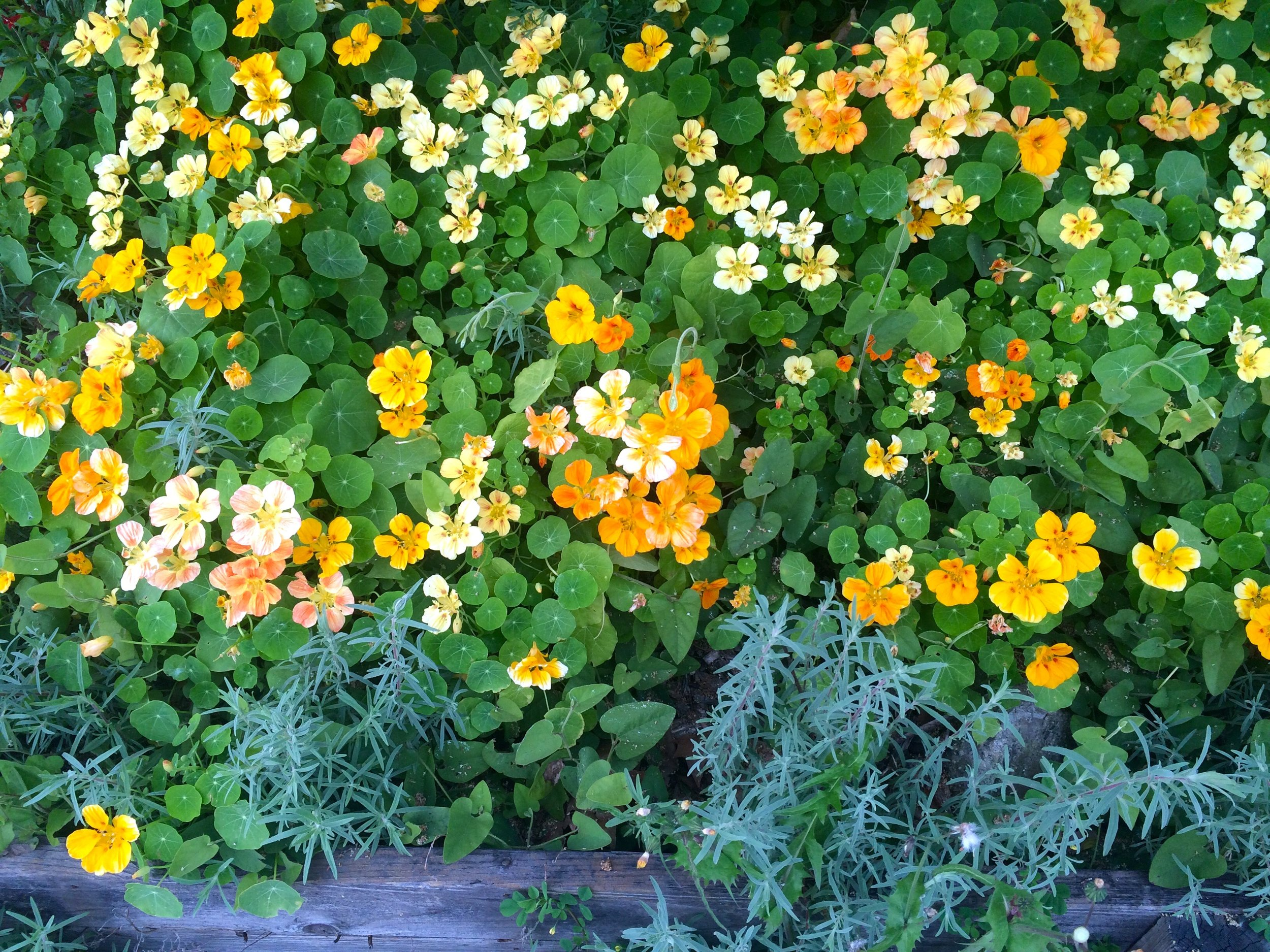 [Image of lush orange, yellow and pink flowers surrounded by round green leaves. A piece of weathered wood lines the bottom of the frame.Photo by Mia Mingus]