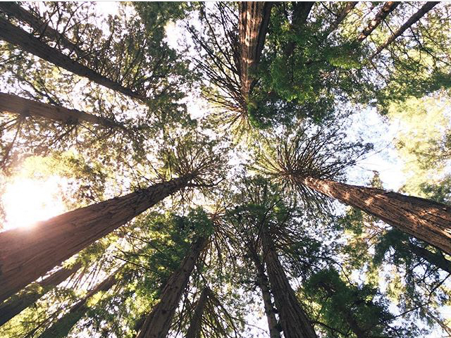 [Image of tall redwood trees, as seen from the ground, looking up, which sunlight pouring through. Photo by Mia Mingus]