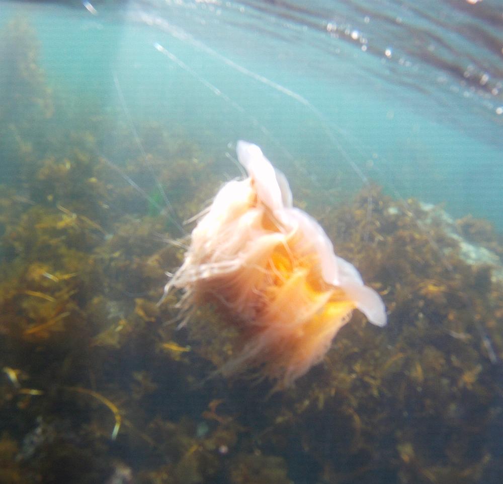 discovery-islands-1107-lions-mane-jellyfish.jpg