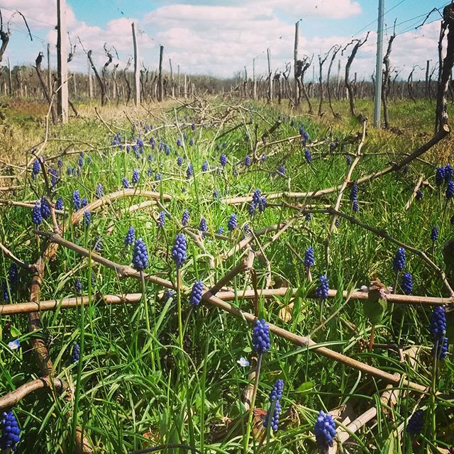 These wild flowers make me smile every year. The first strong sign that  Spring is here!  #bordeaux #vineyardhotels #getaway #seasons #entredeuxmers #saintemilion #wine #winedestinations #winelover #ourbackyard