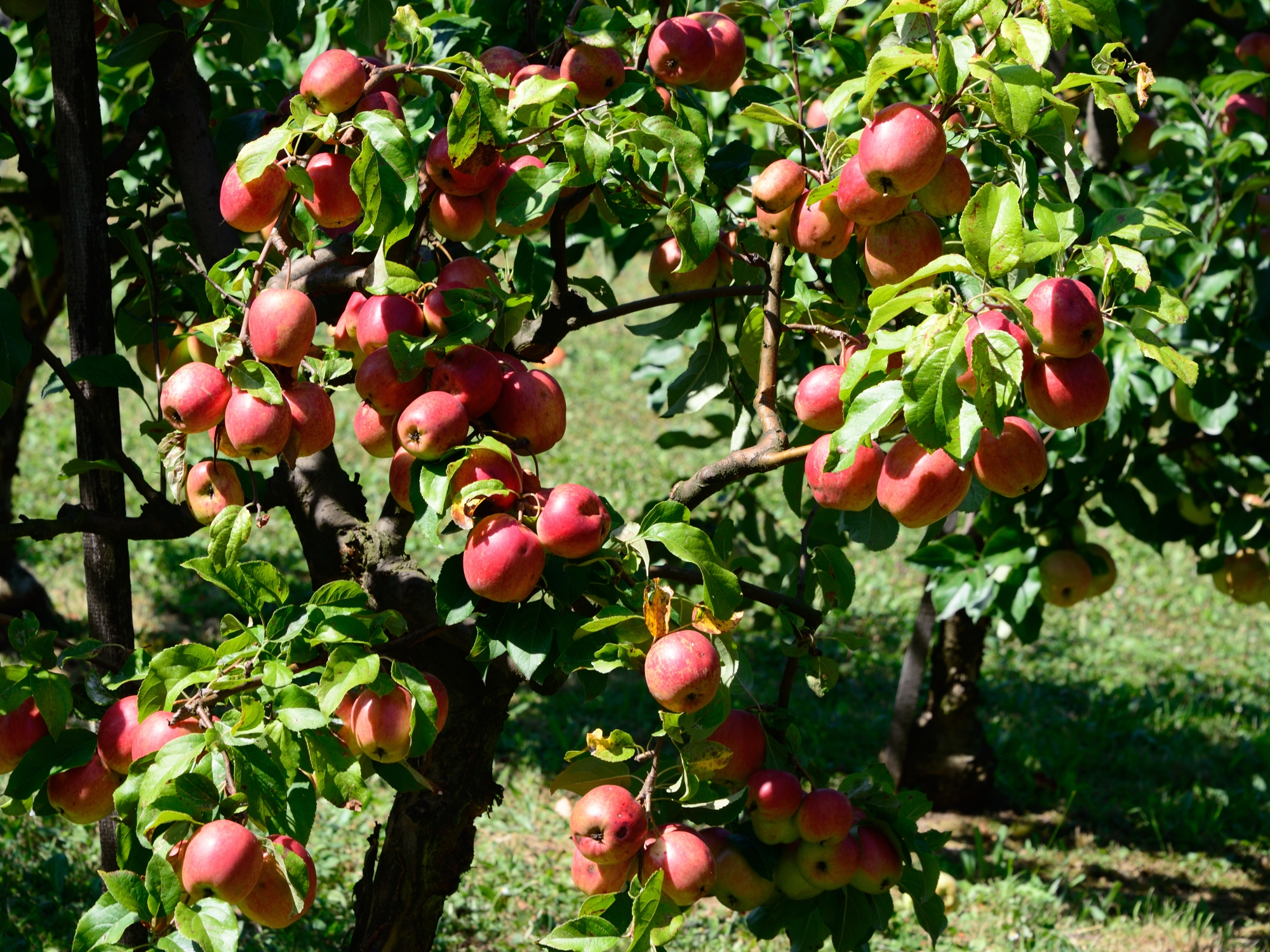 Orchard at the MainÄppelHaus, Lohrberg (Photo copyright © by Anne Noble)