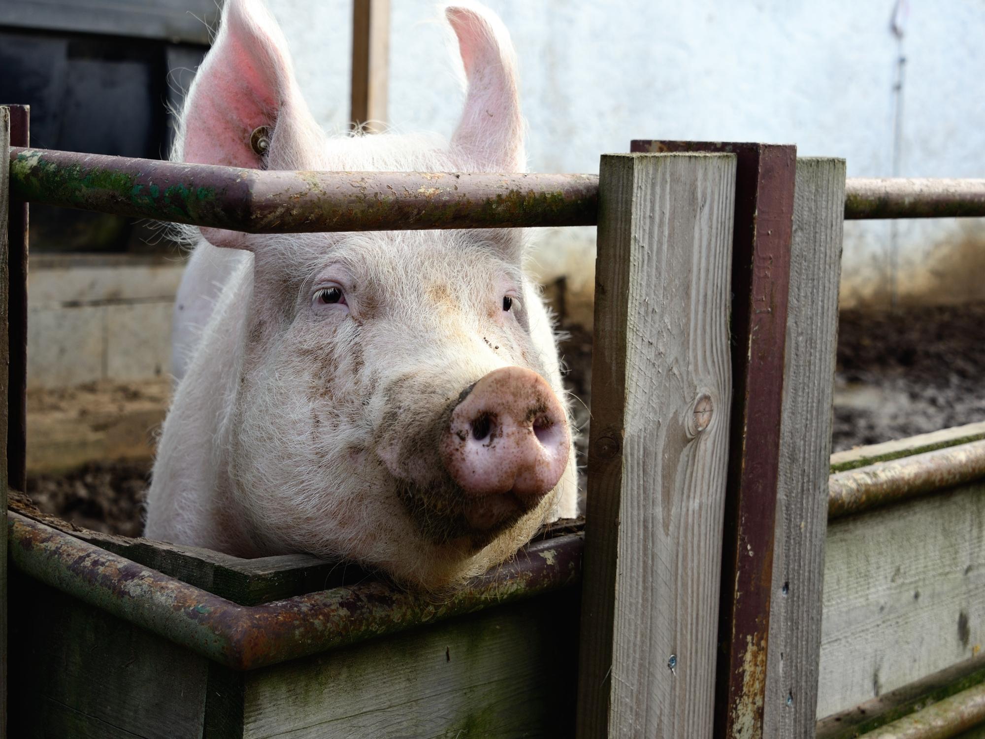 368_Piggy_2499.jpg