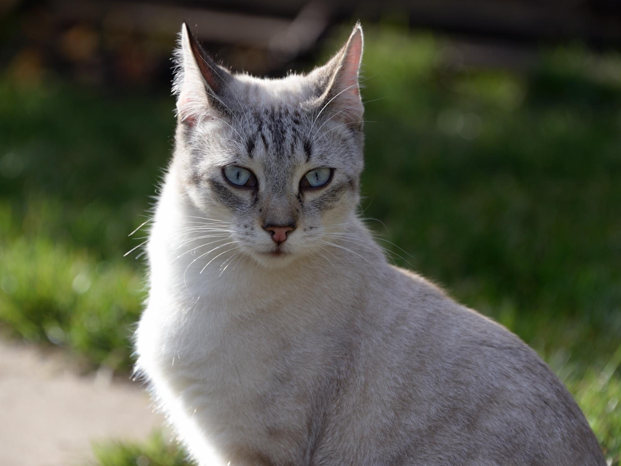 368_Siam_cat_2479.jpg