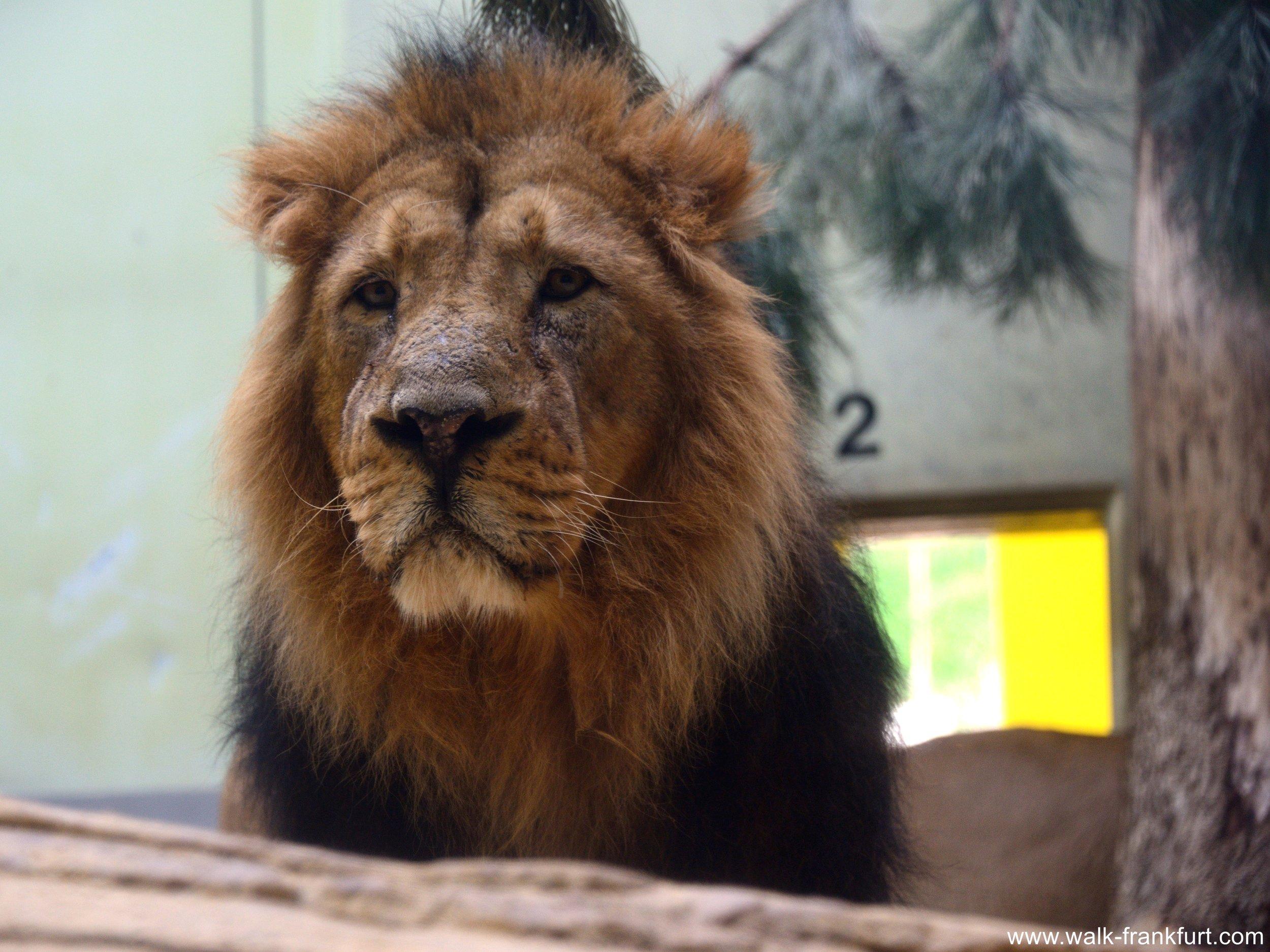 Kumar the lion