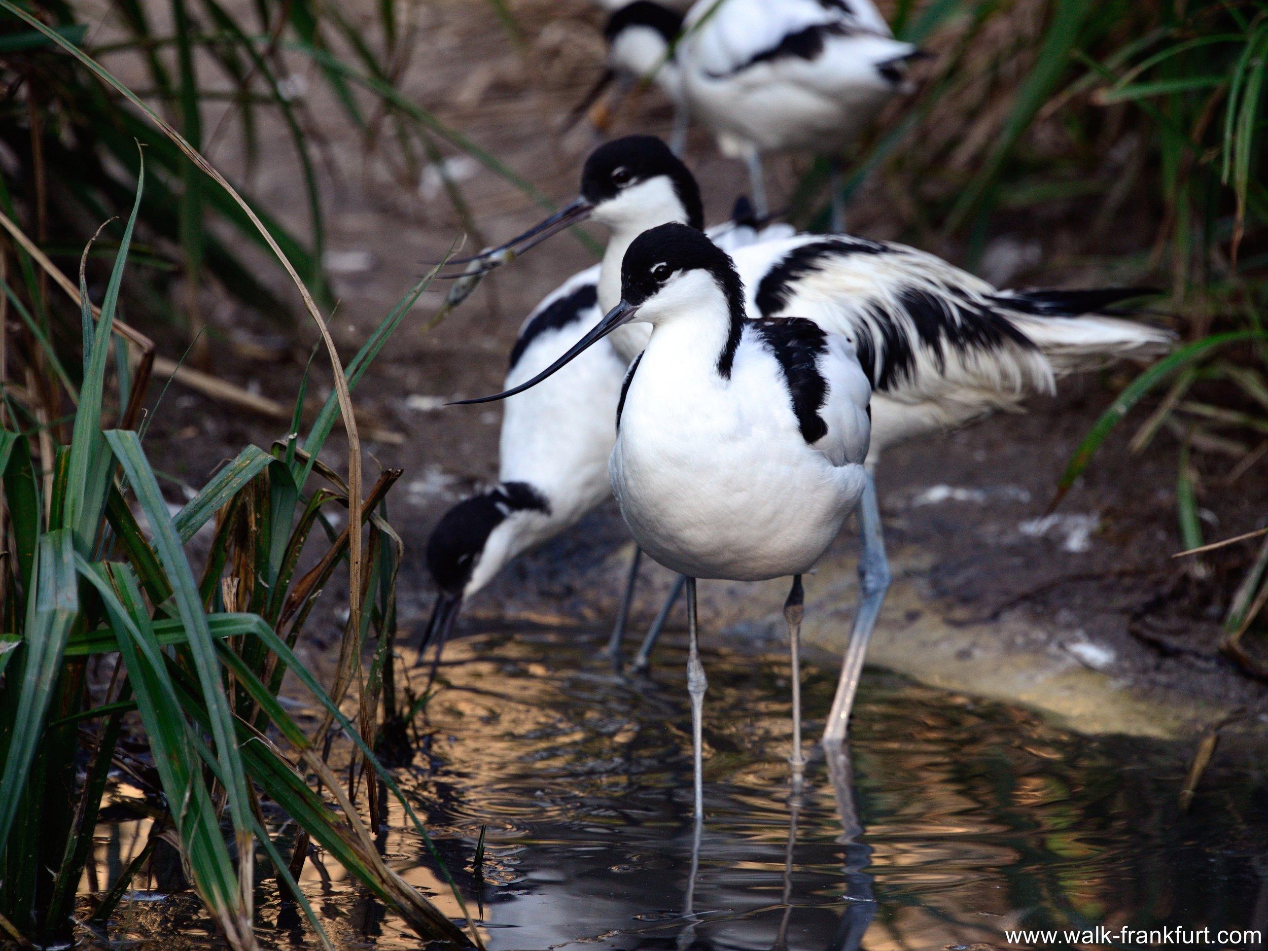 Frankfurt_Zoo_Waders_419_1054.jpg