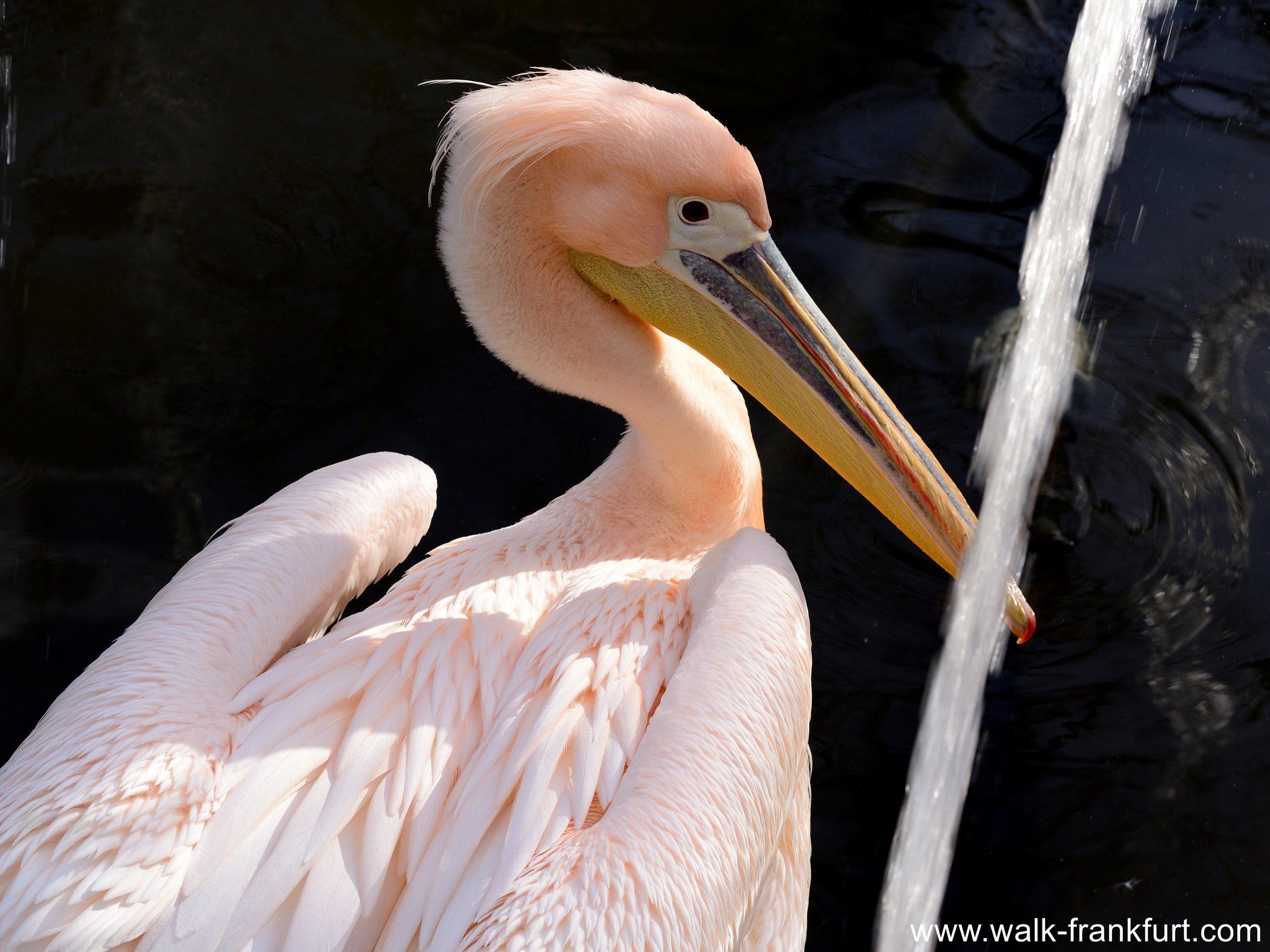 Pelican Pelikan