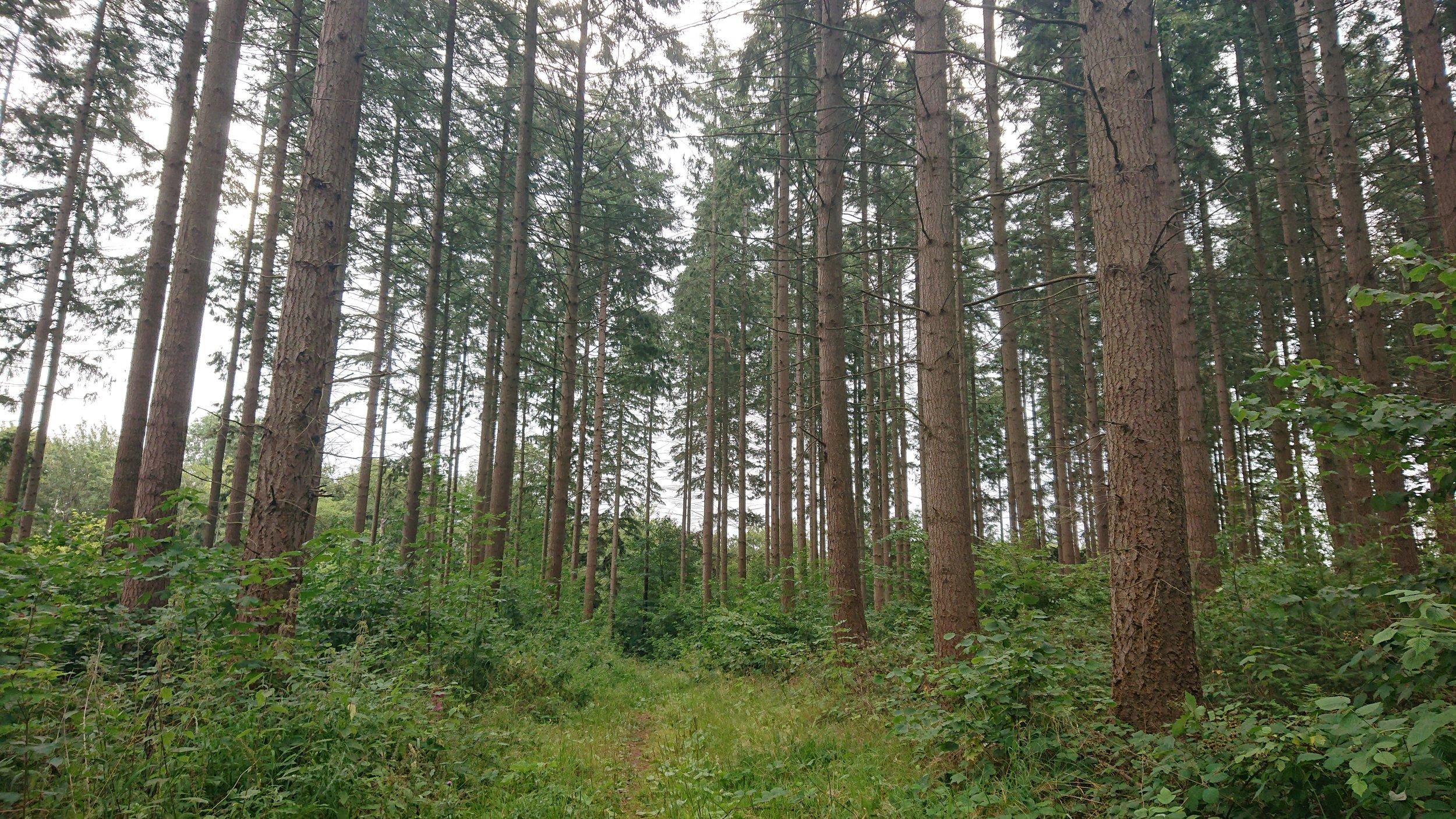 Pipstorn skov -
