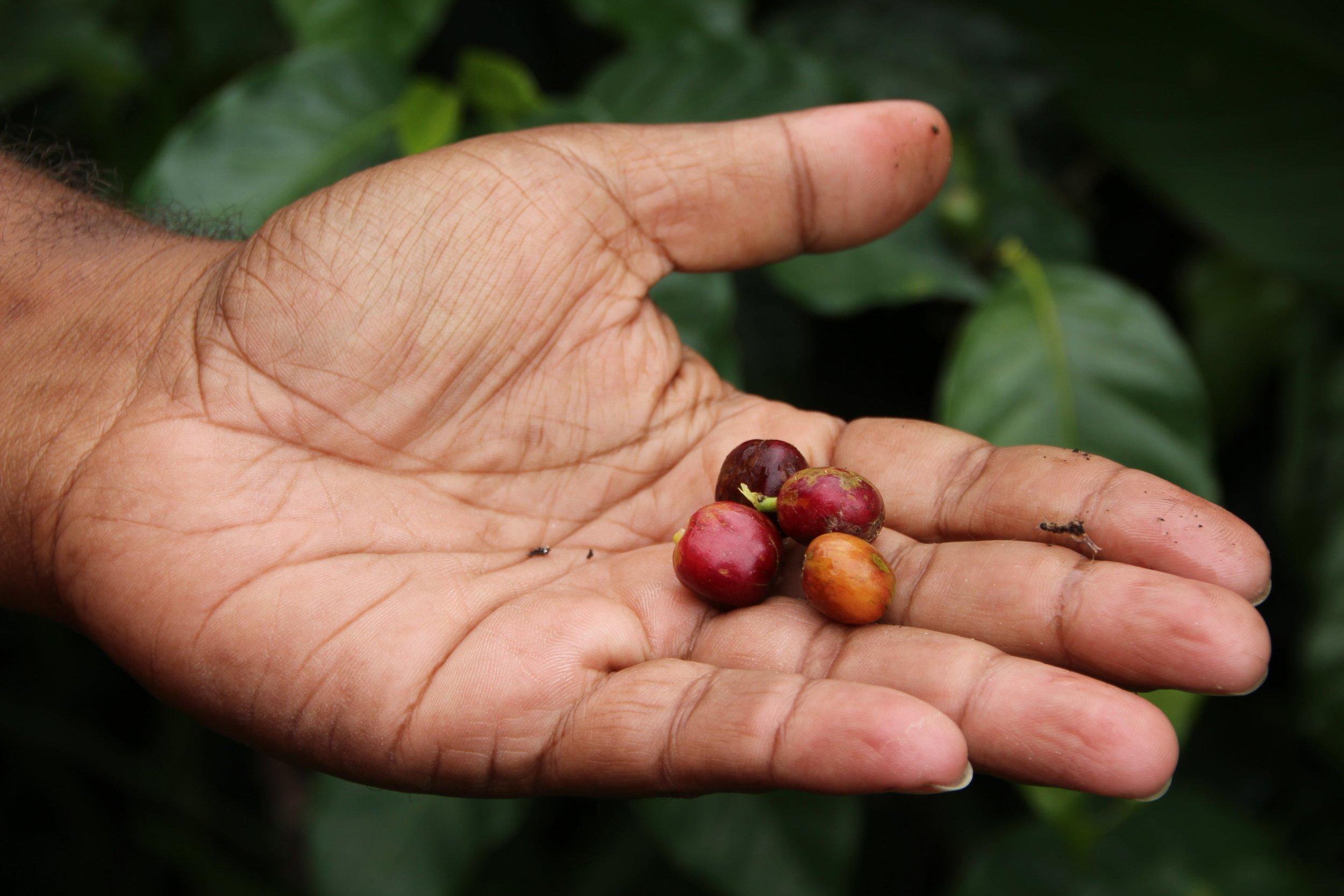 Hand Coffee Cherries