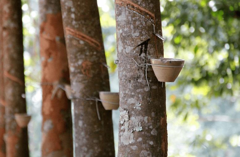 rubber trees social enterprise