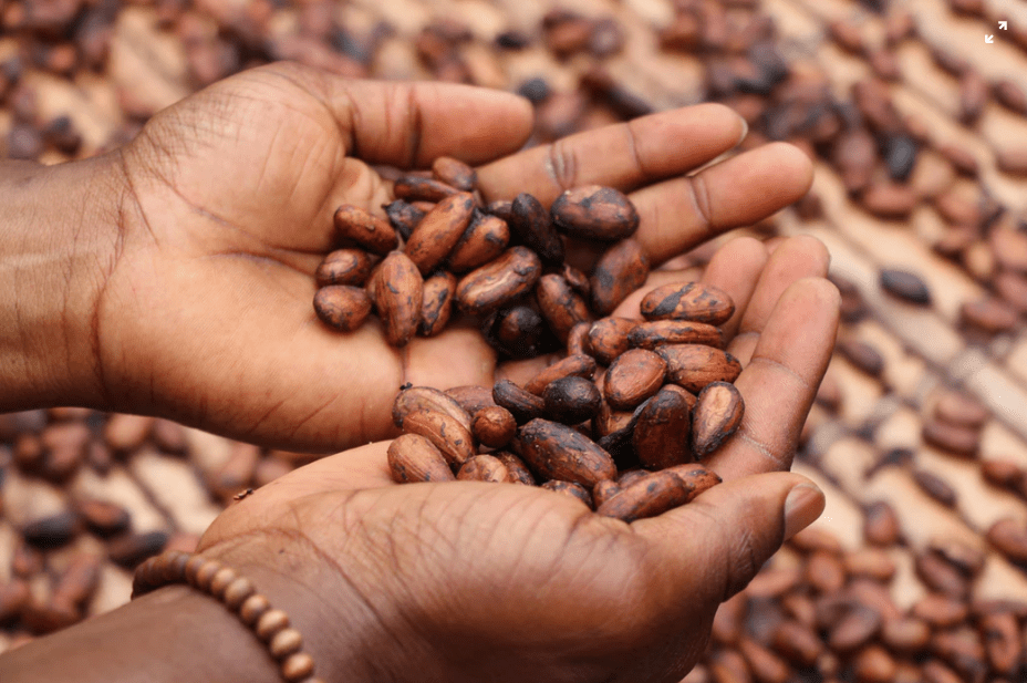cocoa in agribusiness