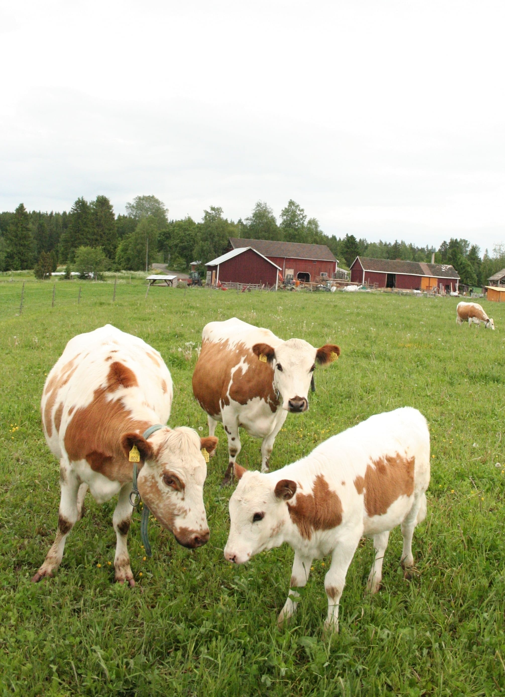 Lehmät Hikka ja Hiiri ja Hiiren vasikka Minni kesällä 2015. Taustalla oikealla näkyy lehmien pihatto.