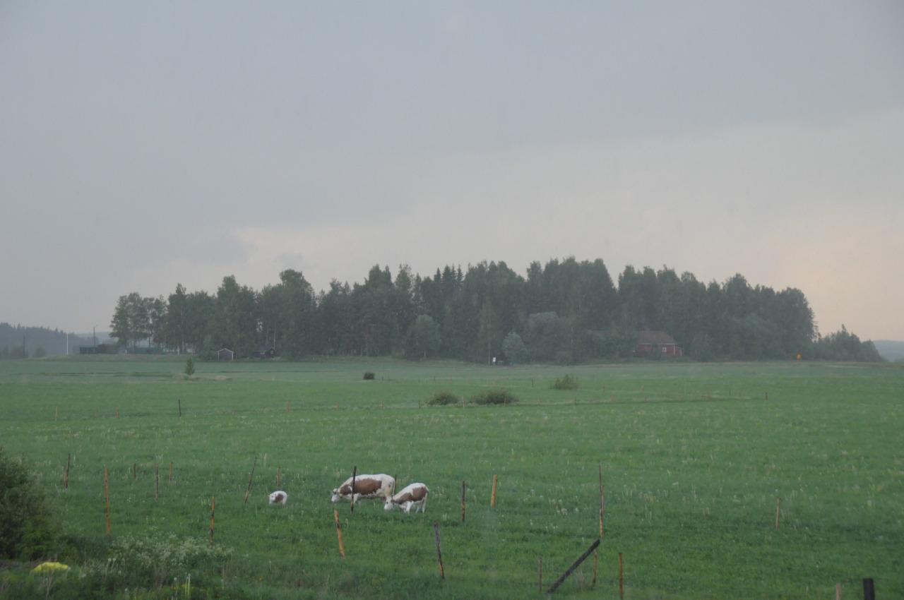 The cows enjoy the fresh rainy days, free of annoying flies
