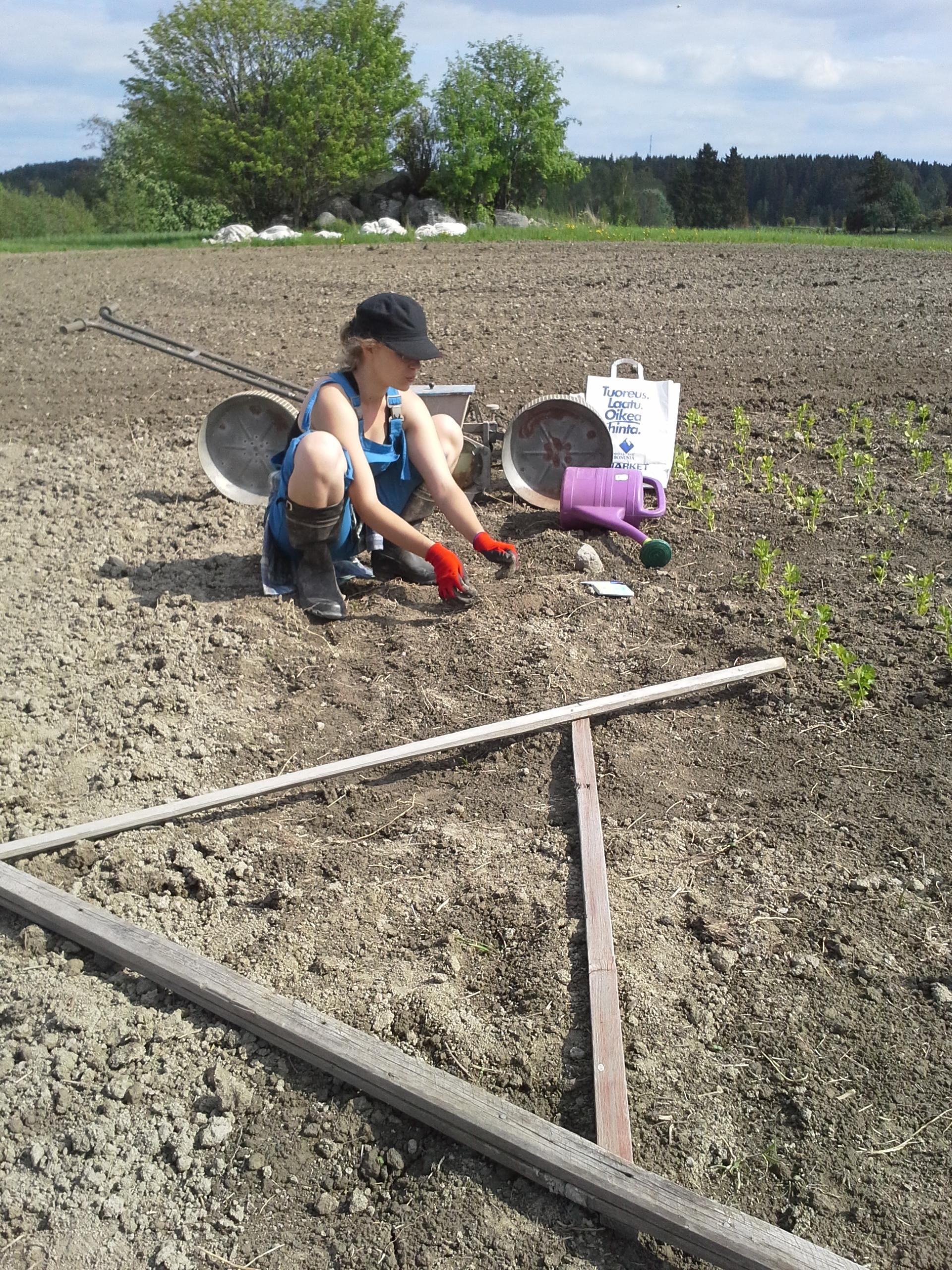 Liina pellolla mittailemassa ja kylvämässä