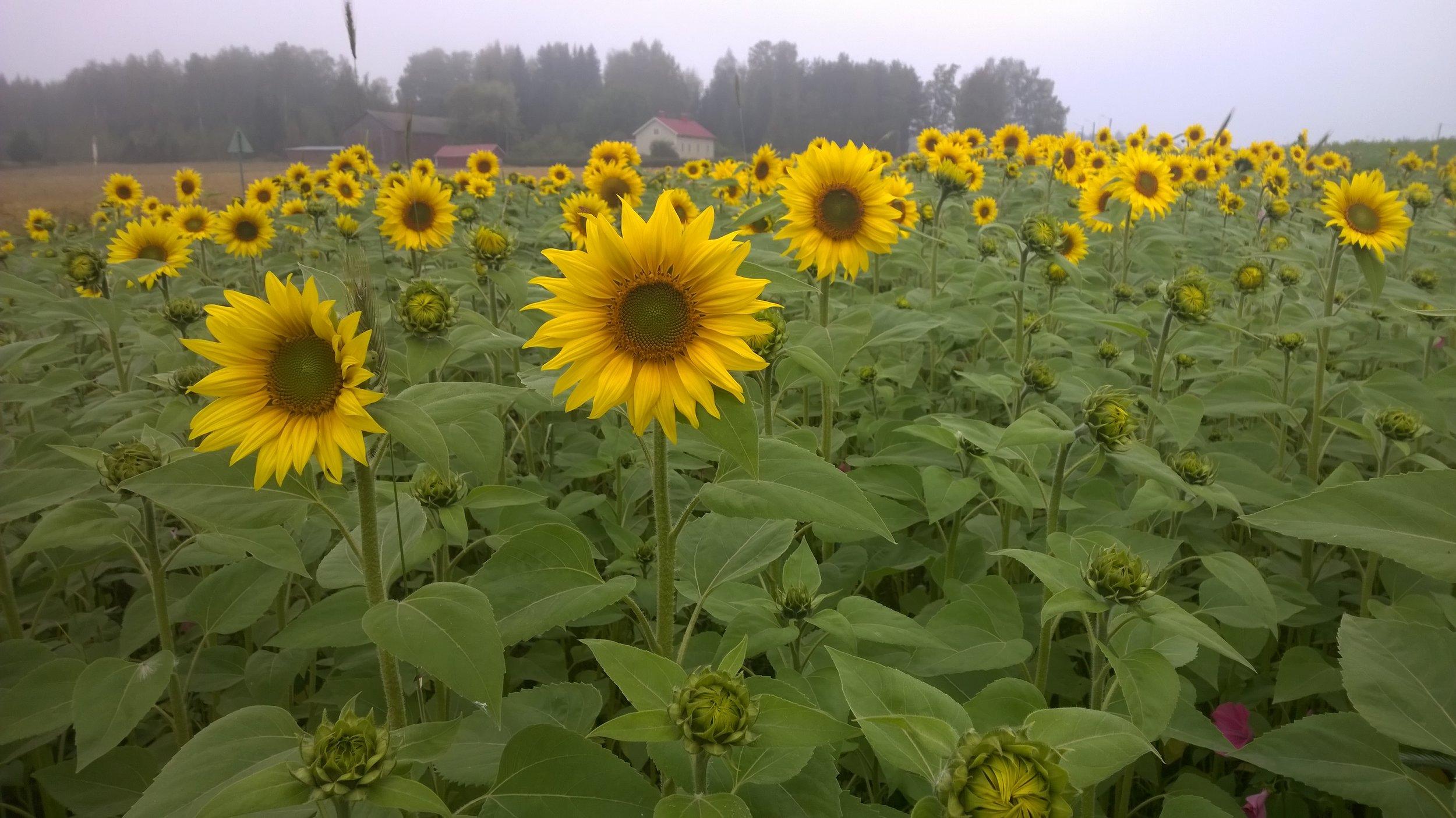 Auringonkukkapelto.jpg