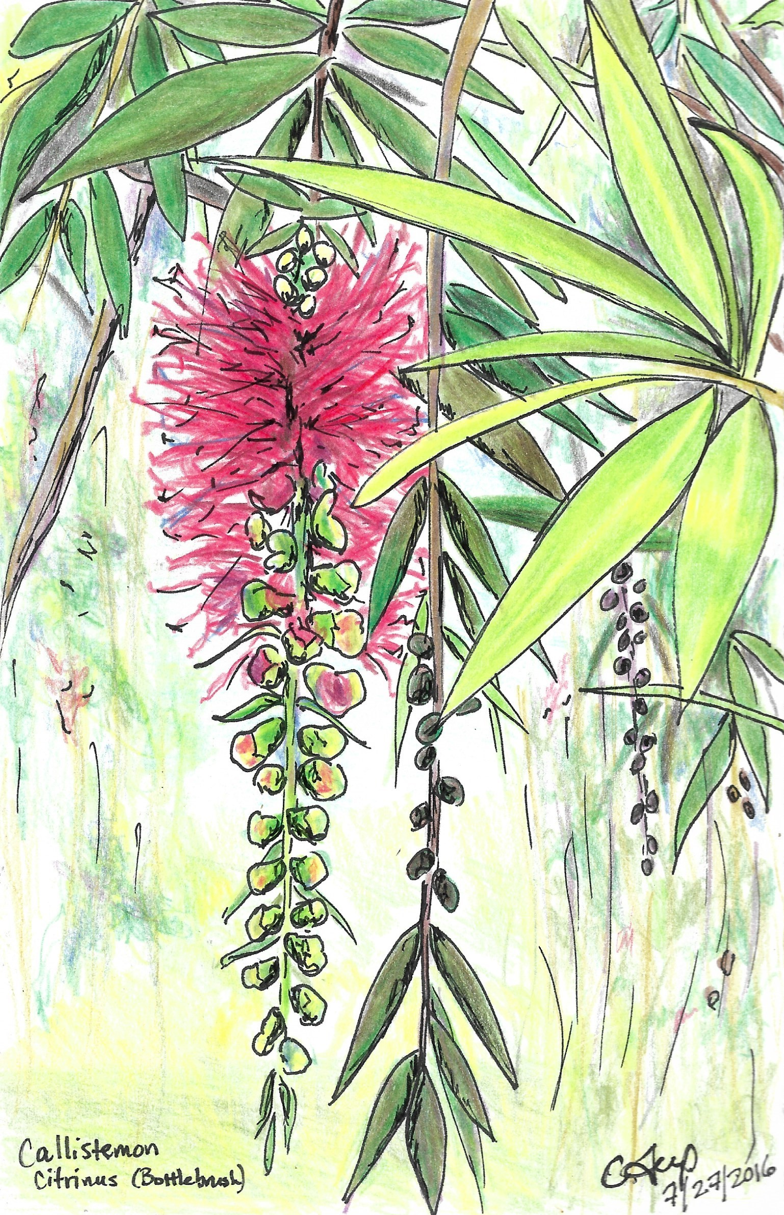 Bottlebrush Tree, Nakuru Kenya