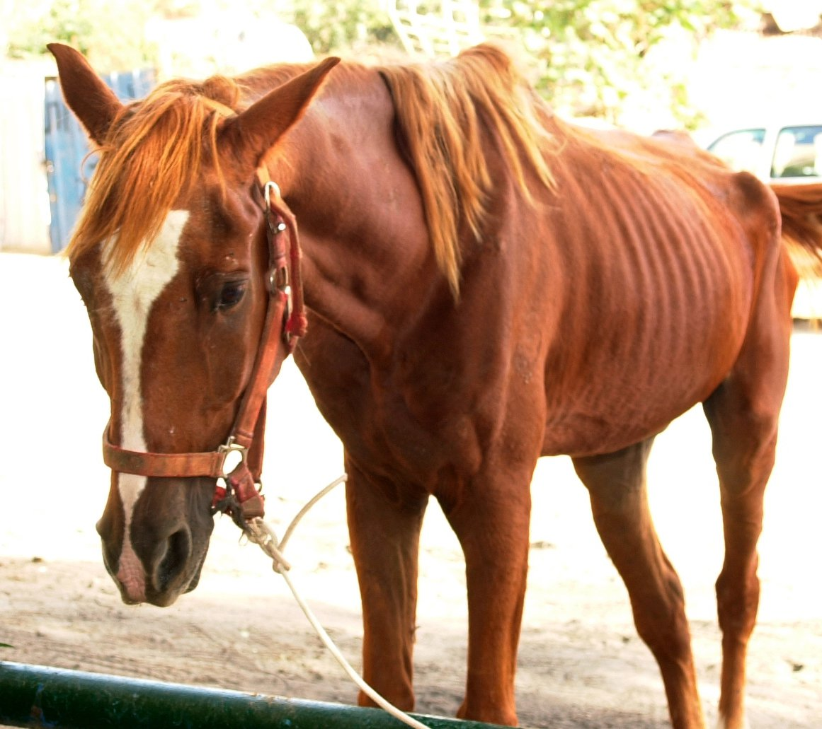 An emaciated horse in Israel.