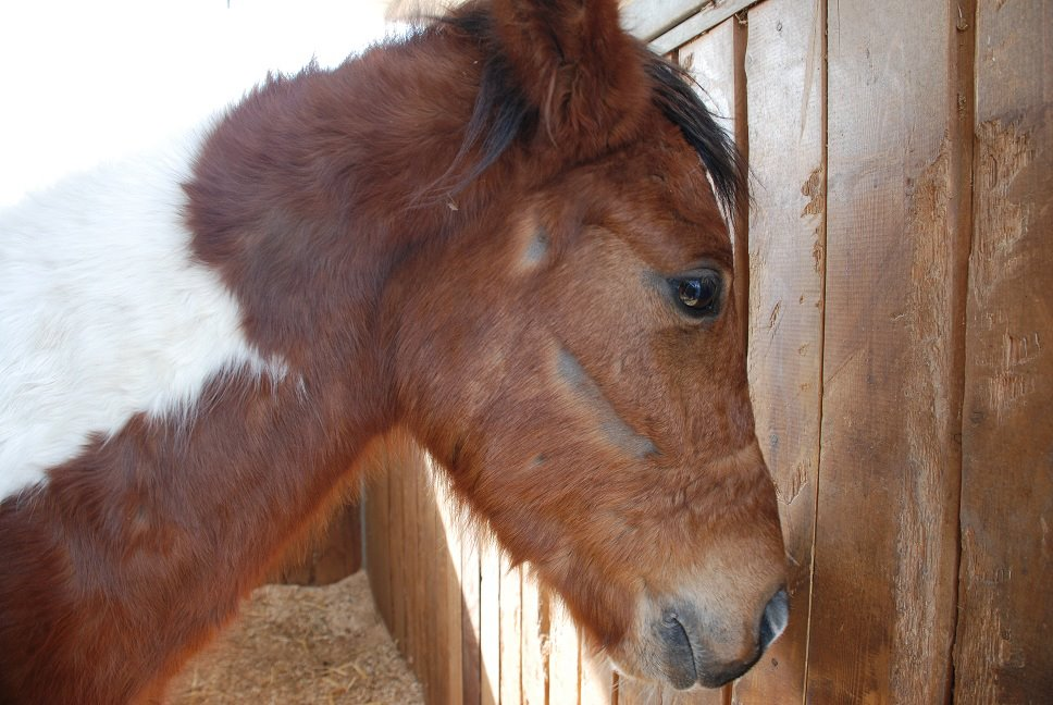 Joey, a starved and neglected horse that was rescued by Hakol Chai in 2012.