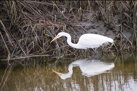 Photo: by Belle Isle resident Charles Young, January 2018, snowy egret.