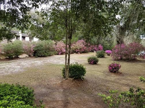 Shady Lawn Azaleas 2.jpg