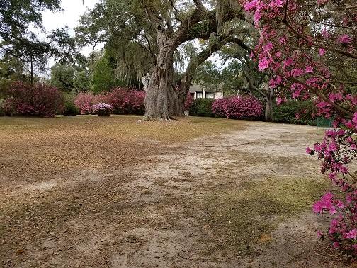 Shady Lawn Azaleas 4.jpg