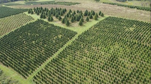 クリスマスツリー畑