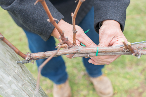 vines being cut