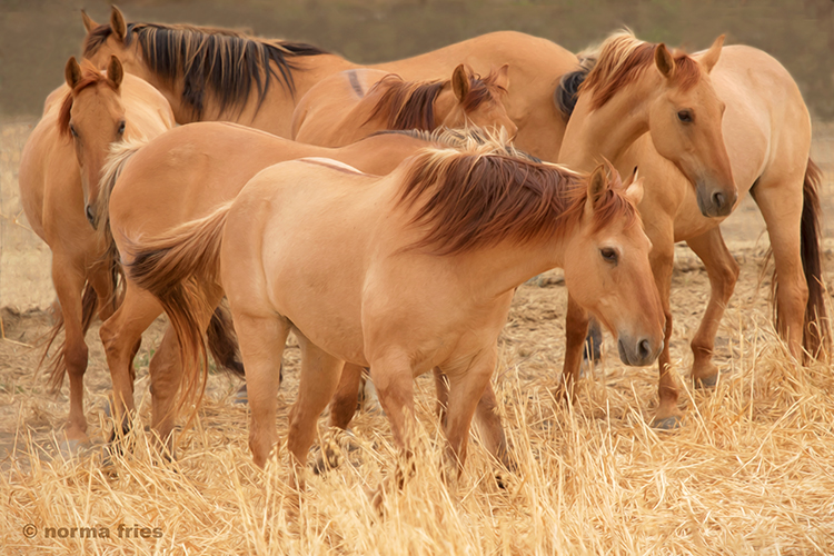 """WH116: """"Six kiger mares"""""""
