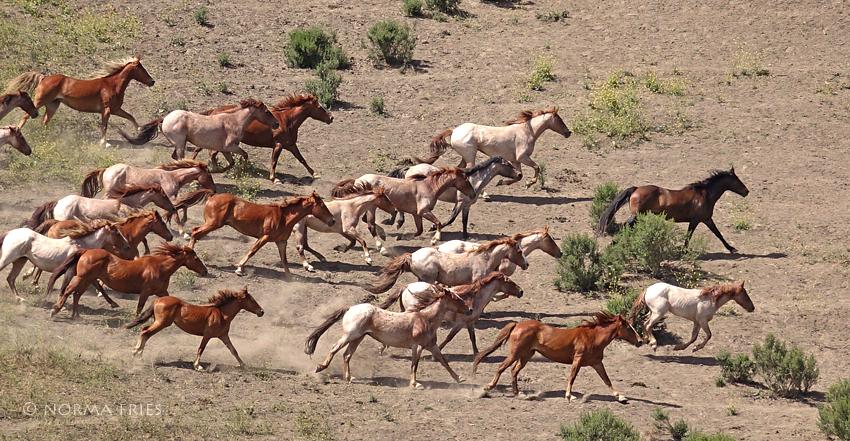 "WH155: ""Hart Mountain herd"""