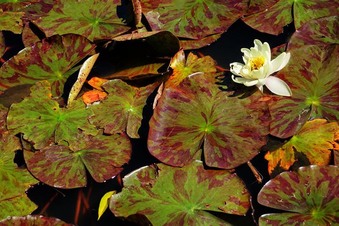 """LN909: """"Lotus"""""""