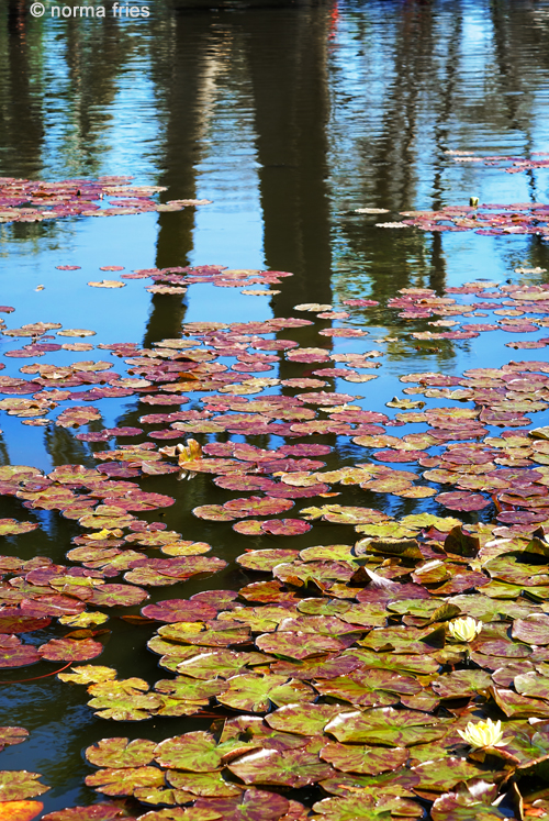 "LN908: ""Lily pads and reflections"""