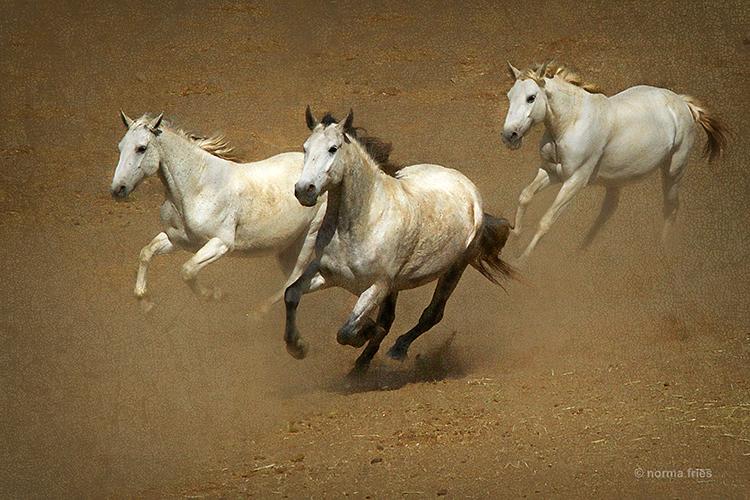 WH192: 3 grey Challis herd horses run