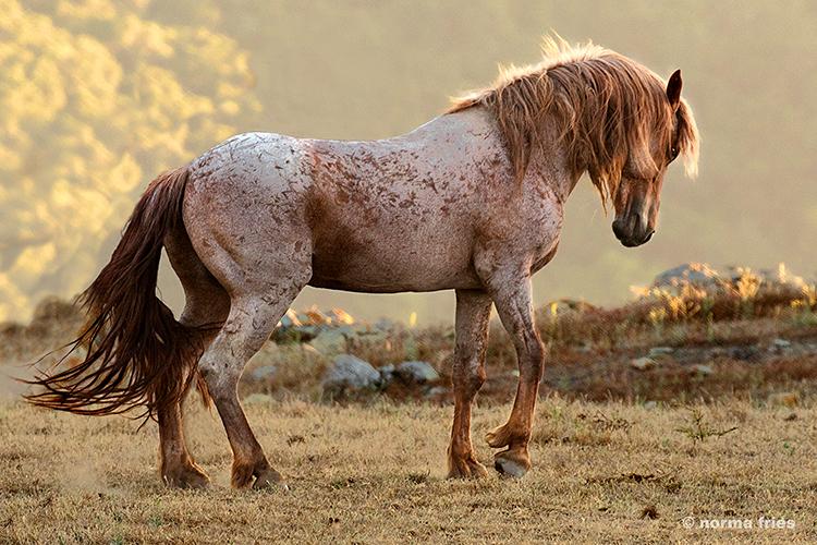 """WH206: """"Hart Mountain stallion"""""""