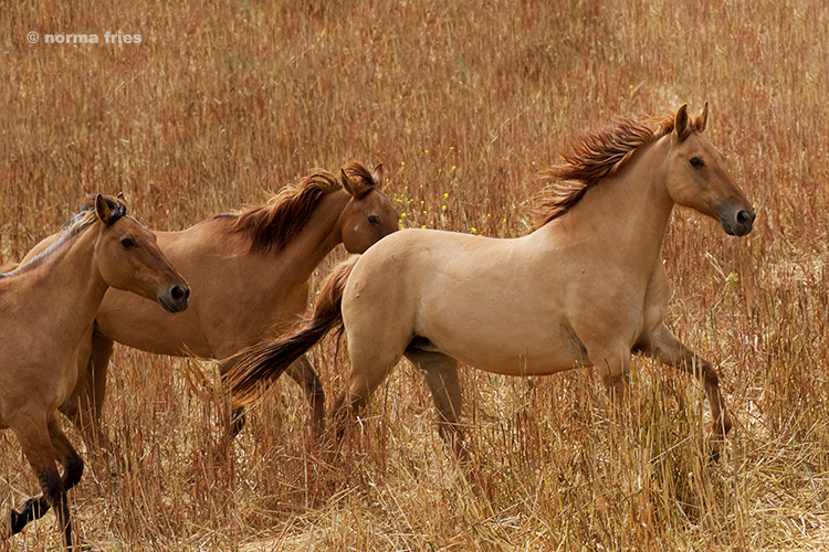 """WH209: """"Chief's 3 Kiger mares"""""""